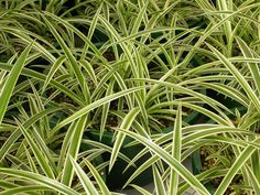 Spider Plant -Chlorophytum comosum: part shade to full shade