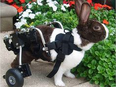 This cute bunny got a wheelchair following a spinal fracture.