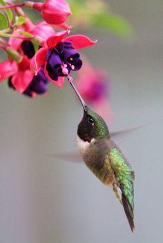 Hummingbird ~ perfect pose