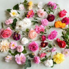 rose rose, canvas prints, en rose, rose canva, canva print, hedgerow rose