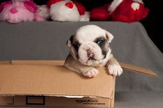 "Look, honey, my order from Bulldogs ""R"" Us finally arrived! :D (I soooo wish!!!) #box #cute #dogs #puppies #bulldog #English #pets #animals #sleeping"
