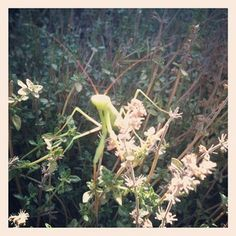 A Praying Mantis resting in the thyme in my garden exot manti, pray manti, thyme, gardens, manti rest