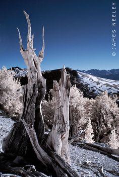 Ancient Bristlecone Forest, California