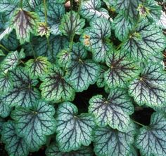 heuchera green spice