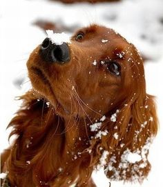 obsessed with irish setters :)