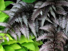 Athyrium Pictum (Japanese Painted Fern) - love the color