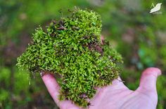 How to Transplant Moss - DIY_Gardening with Amy Renea at A Nest for All Seasons