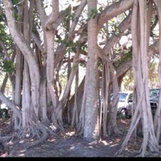 Beautiful trees in New Smyrna Beach, Florida