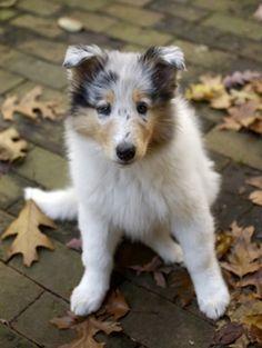 Blue Merle Collie pup
