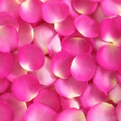 Brighten up your next wedding or event with beautiful fresh hot pink rose petals! With little effort you can easily change the ordinary into extraordinary! Order fresh rose petals and freeze dried rose petals at wholesale prices online at GrowersBox.com.