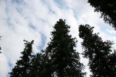Treetops Photo - Horseshoe Lake Trail, Denali, Alaska