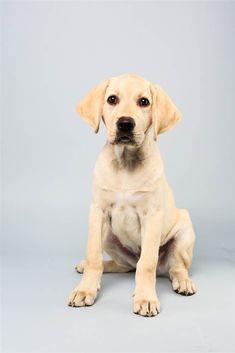 Benton the Labrador Retriever puppies, dog compet, hampshir dog, dogs, puppi parad, puppi bowl, bowls, bowl 2014