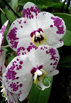 ~~Orchids Galore by Puzzler4879~~