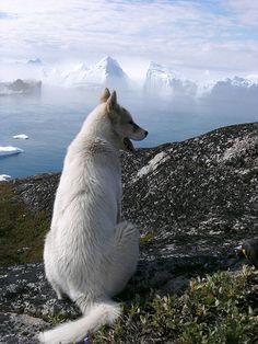 Husky enjoying the Greenland countryside. #husky #whitehusky #siberianhusky #greenland #dog