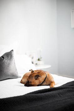 staffi, anim, inspiration, french bulldogs, beds, bull terriers, sleepi puppi, bulldog photography, design
