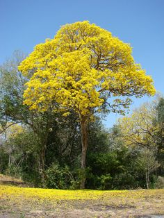Araguaney,arbol nacional de Venezuela.