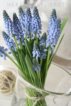 Pale blue Muscari ha