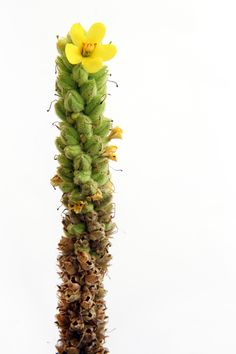 mullein with flower (mary jo hoffman)