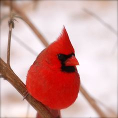 Cardinals are so breathaking ... especially right after it snows