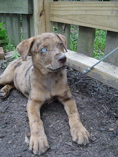 Catahoula puppy - gorgeous!