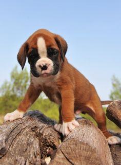 I LOVE boxer puppies!