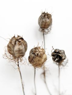 fennel flower seed heads (mary jo hoffman)