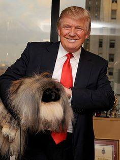 Famous people (Donald Trump) Dogs - Pekingnese - even his dogs are high maintenance but adorable