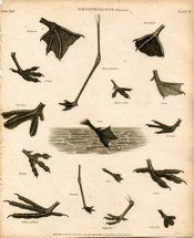 "bird feet II london 1811 engraving  8.5 x 10.5"" $35"