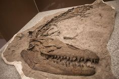 Prognathodon an extinct genus of marine reptile. Recently found in Alberta Canada.