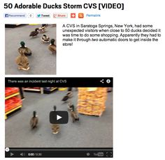 50 Adorable Ducks Storm CVS [VIDEO] Read more: http://www.elvisduran.com/articles/what-we-talked-about-136656/50-adorable-ducks-storm-cvs-video-11777866/
