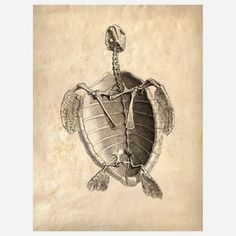 Turtle Skeleton Print now featured on Fab.