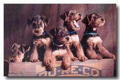 Puppies!!!! airedal puppi