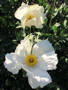Fried Egg Poppies - a California native plant.