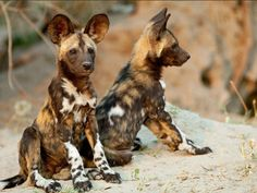 African Wild Dog Pups  The African wild dog, also called Cape hunting dog or painted dog, typically roams the open plains and sparse woodlands of sub-Saharan Africa.    These long-legged canines have only four toes per foot, unlike other dogs, which have five toes on their forefeet. Irregular, mottled coat, which features patches of red, black, brown, white, and yellow fur. Each animal has its own unique coat pattern, and all have big, rounded ears.