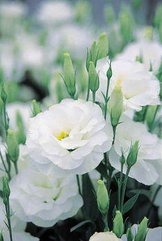 ~White lisianthus