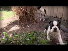 Stewie & Flo - Boston Terrier Puppy Love