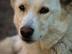 Canaan Dog Closeup