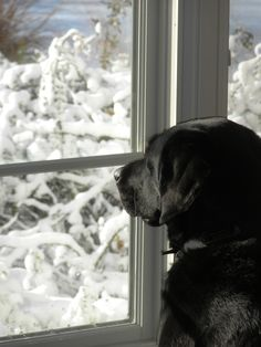 Miss Maybelle amazed by her first sight of snow.  Career change Guide Dog for the Blind puppy.