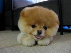 balls, puppies, animals, boo, cutest dogs, teddy bears, chow chow, star, pomeranian