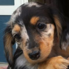 Mini dachshund- Kaia