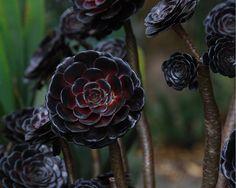 black for the garden - Aeonium arboreum 'Zwartkop'