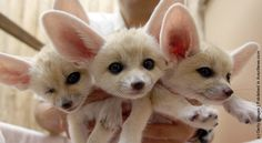 Fennec foxes are cool. If I could have an exotic pet, it would be one of these guys.