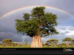 Google Image Result for http://photography.nationalgeographic.com/staticfiles/NGS/Shared/StaticFiles/Photography/Images/Content/rainbow-baobab-tree-joubert-1011931-sw.jpg