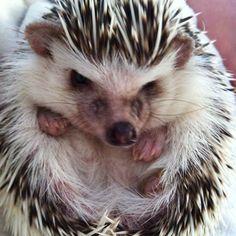 Hedgehog ball #hedgehog
