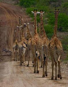 Convoy of giraffes! #safari #giraffes