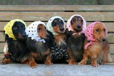 Dachshunds in cute little scarves.