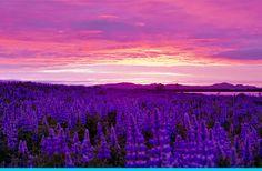 iceland, lavender fields, color, landscape photography, travel, midnight sun, place, quot, golden hour
