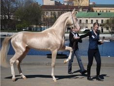 Akhal-Teke: The world's most beautiful horse? | Weird Animal Report