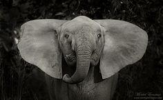 Dumbo flaps his ears by MorkelErasmus on deviantART
