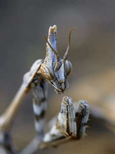 the wise mantis